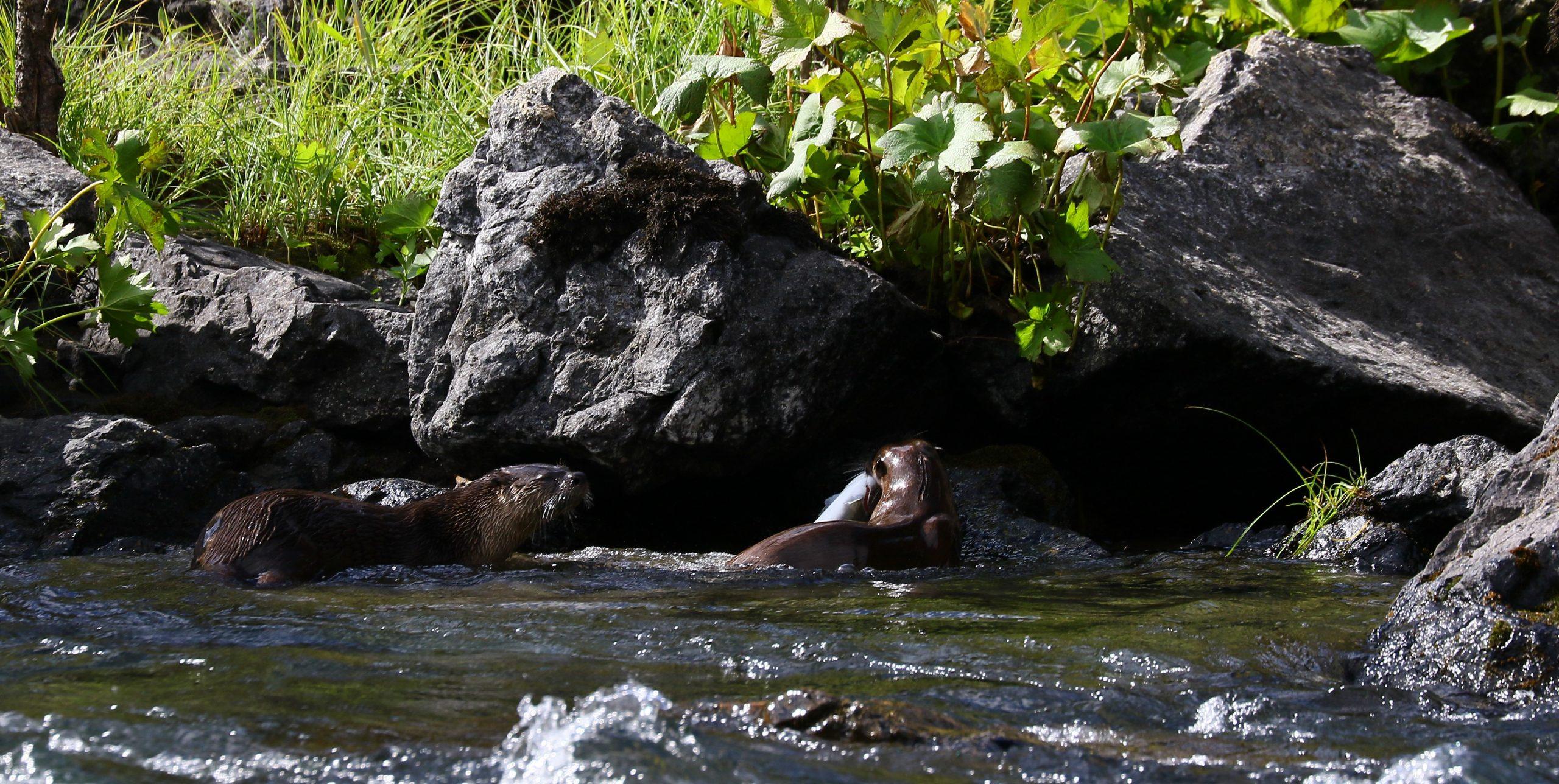 River otters enjoying some fresh fish